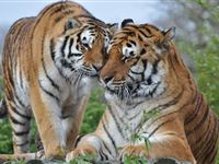 Breakfast with the Big Cats for Two