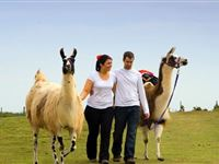 Llama Trekking and Cream Tea for Two