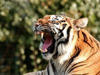 Tea with the Tigers at Paradise Wildlife Park for Two