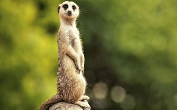 2 for 1 Meet The Meerkats Experience Amazing Experience 2