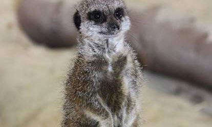 Meerkat Encounter for One at Ark Wildlife Park Amazing Experience 1