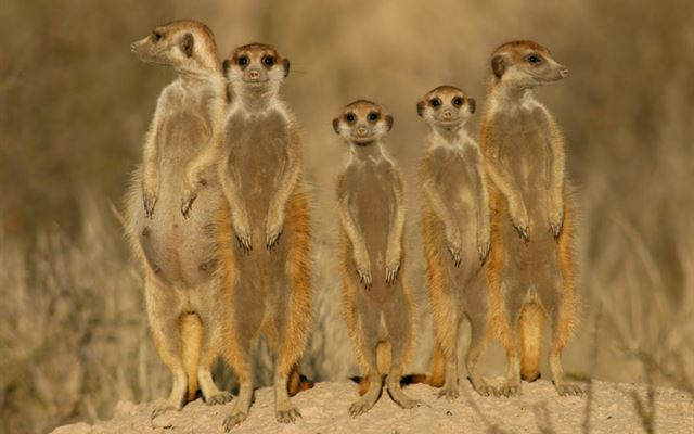 Meet the Meerkats for Two Amazing Experience 1