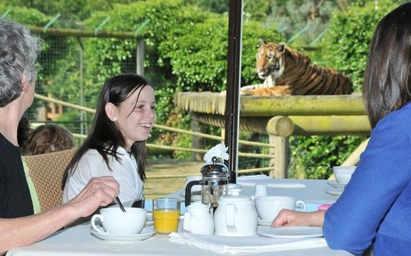 Tea with the Tigers at Paradise Wildlife Park Amazing Experience 2